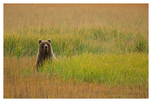 Grizzly Cub in autumn colours