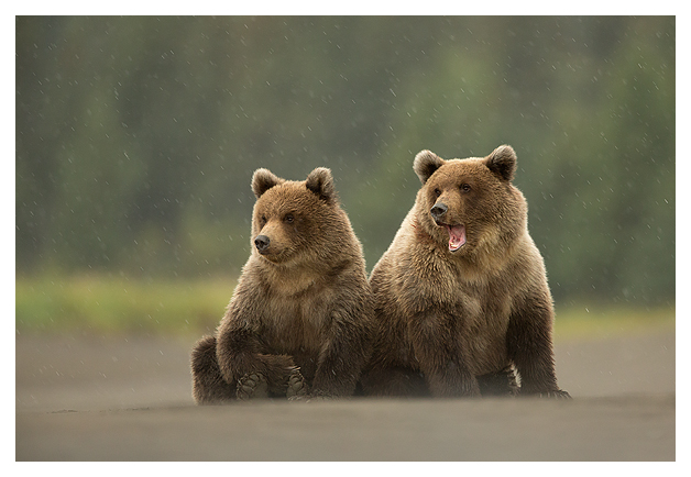 Grizzly Cubs 3