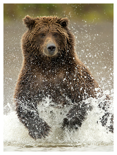 Grizzly fishing 3