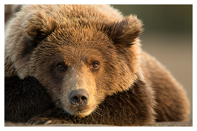 Grizzly resting
