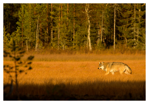 Wolf Alpha male at dusk 1