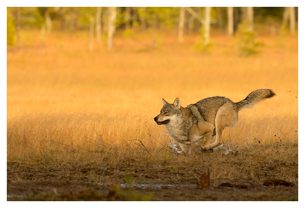 Wolf Alpha male running 1