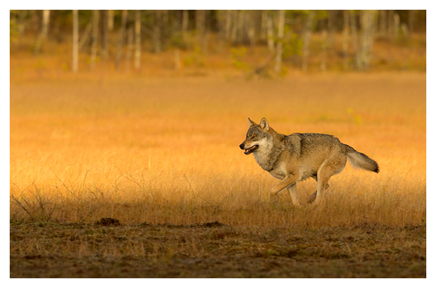 Wolf Alpha male running