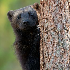 Wolverine-climbing-a-tree-3-301