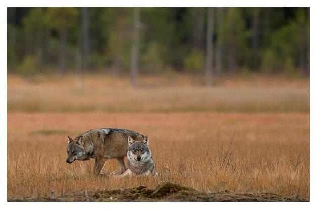 Wolves at dusk 1