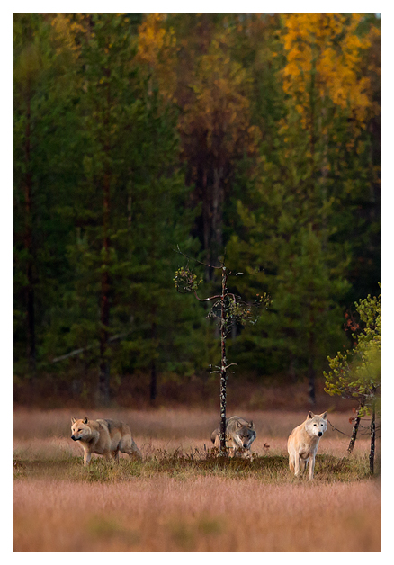 Wolves at dusk