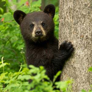Black Bear cubs in tree taken at VSBS in Orr, MN in the wild