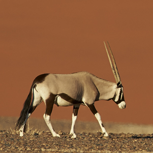 Gemsbok and red sand dune 301