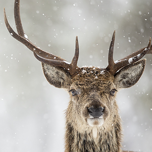 Red Deer (Cervus elaphus) in the snow, Scotland, March 2015