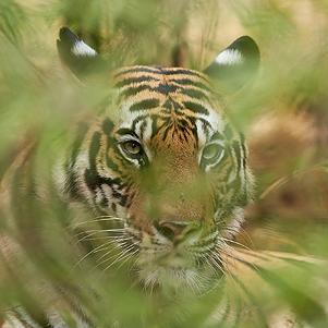 Majestic Tigers 301