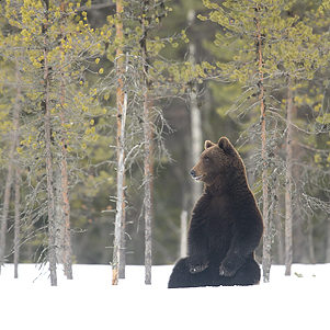 Male European Brown Bear in the snow (Ursus arctos), Finland, April 2015