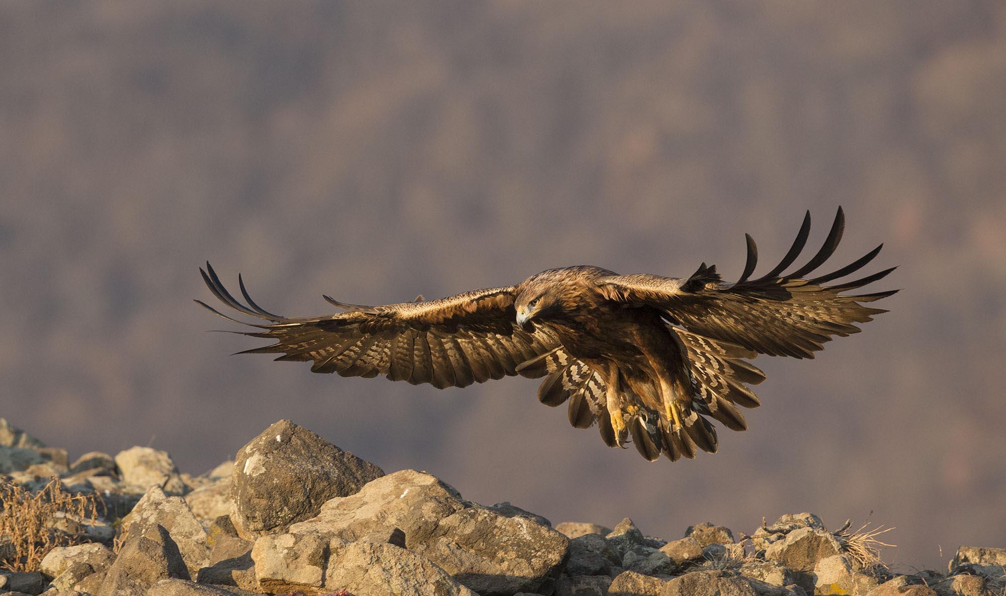 Balkan Winter Golden eagle 19