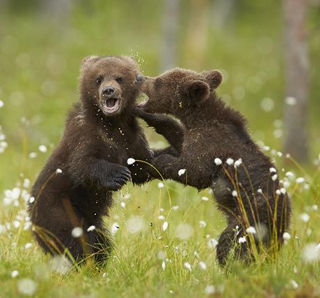 Bears 2 460