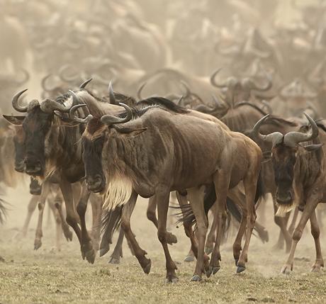 Mara Migration 2 460