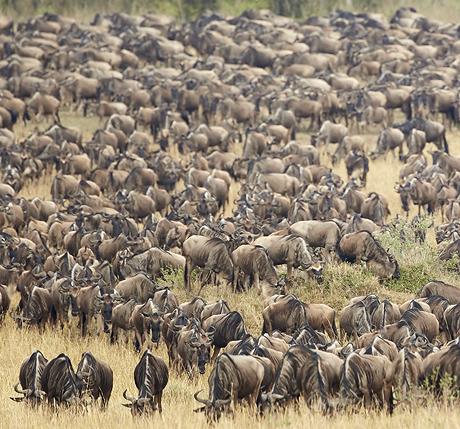 Mara Migration 460