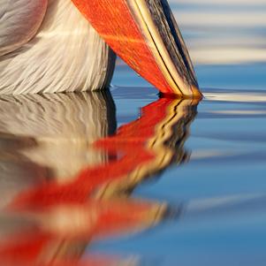 Pelican-blog-301