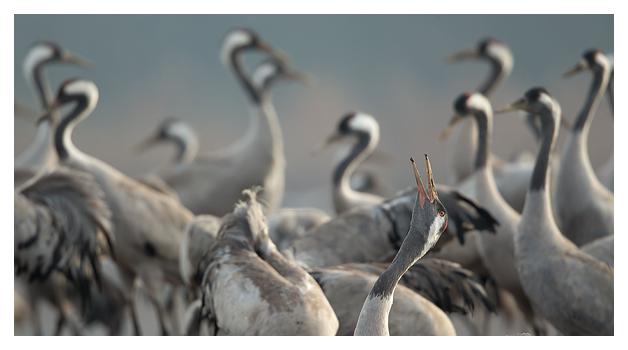 Common Crane calling 1