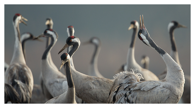 Common Crane calling