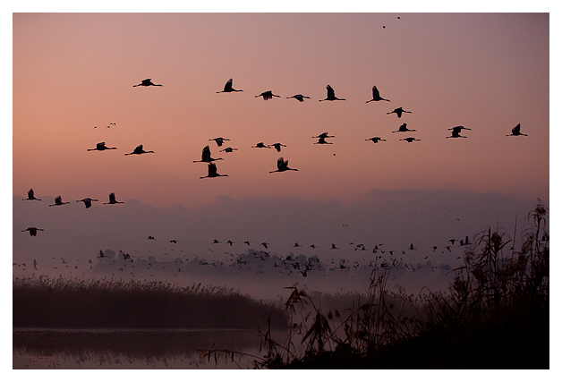 Common Cranes leaving roost at dawn 1