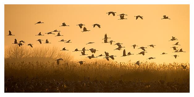 Cranes at dawn 1