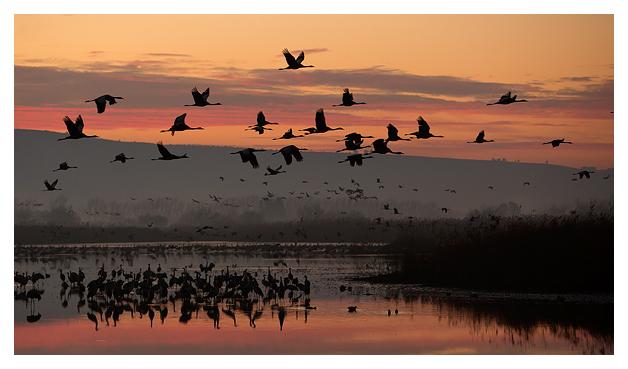 Cranes at dawn 11
