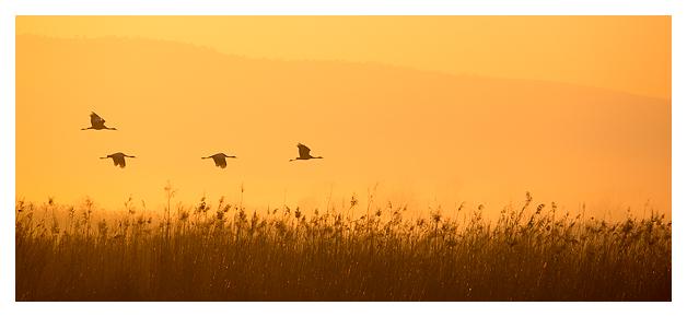 Cranes at dawn 2