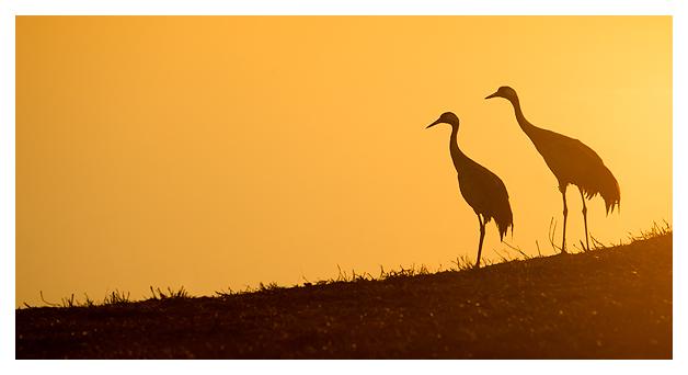 Cranes at dawn 3