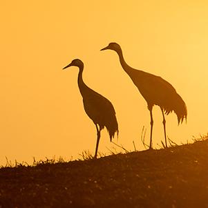 Cranes-at-dawn-301