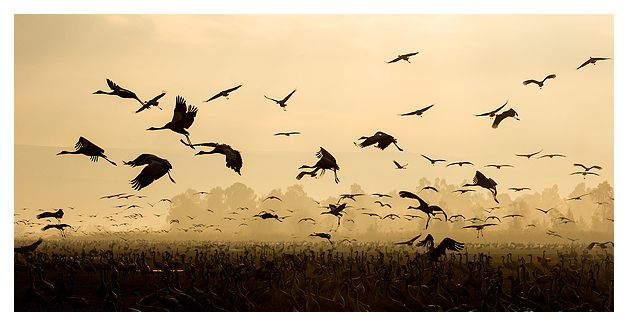 Cranes at dawn 4