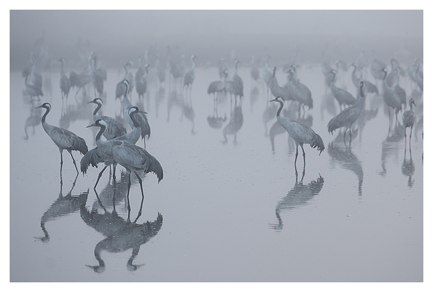 Cranes at dawn 5