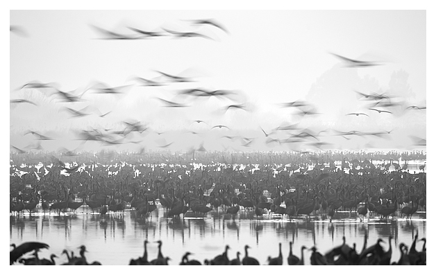 Cranes at dawn 7