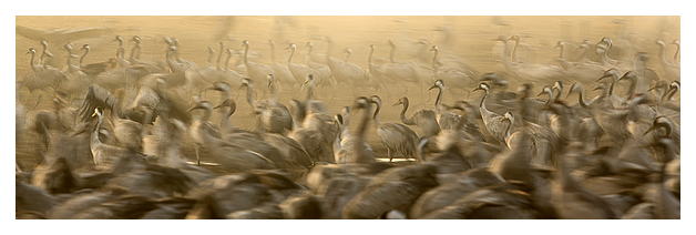 Cranes at dawn 8