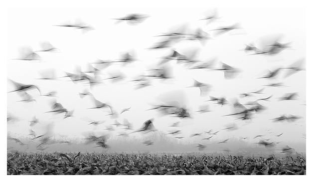 Cranes at dawn 9