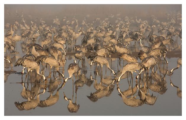 Cranes feeding