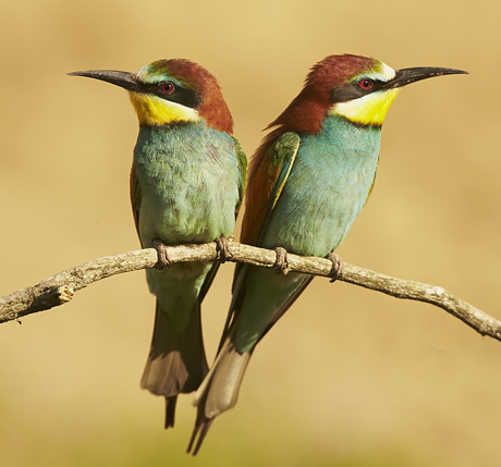 Pair of European Bee-eater (Merops apiaster) sitting side by side on branch near sandbank nesting site, Hungary, May