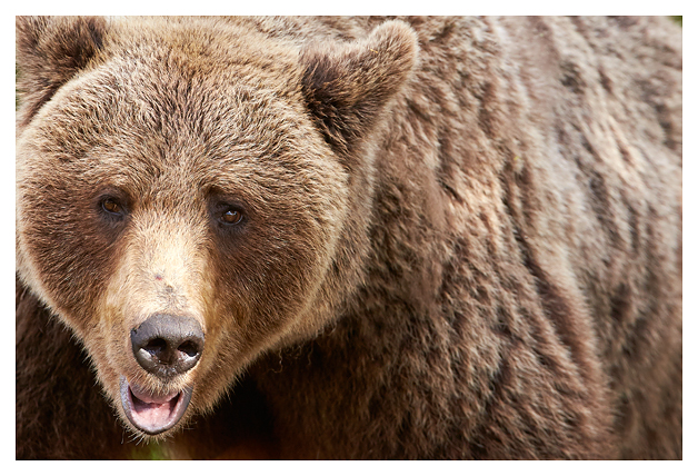 Bear-adult-male 2016