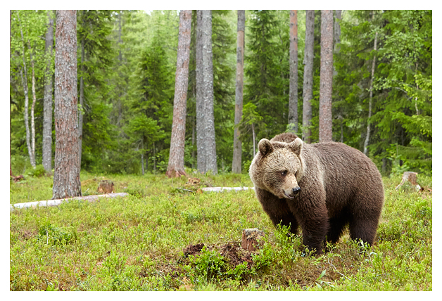 Bear-adult-male-prowling-2016