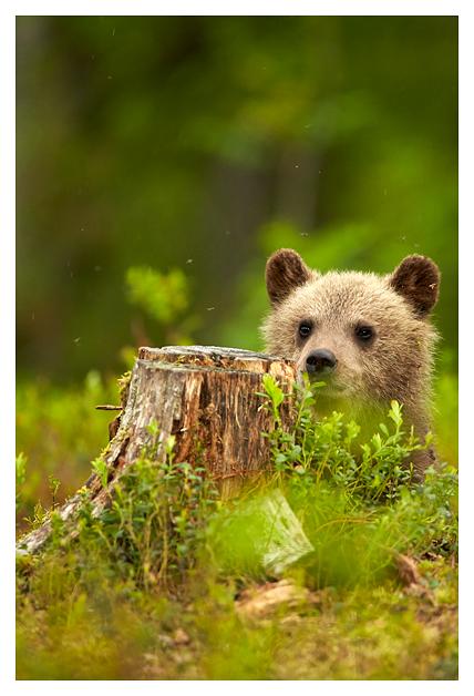 Bear-cub-2-2016