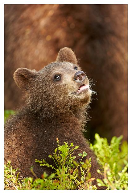 Bear-cub 2016