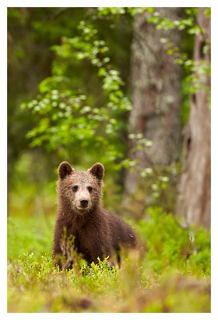 Bear-cub-in-forest 2016