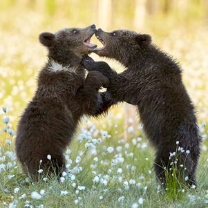 Bear-cubs-play-fighting-301