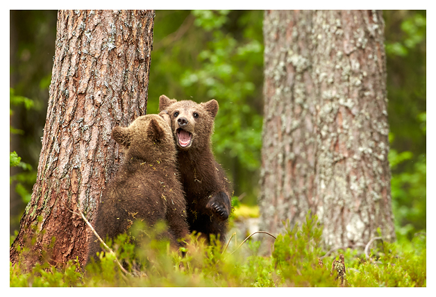 Bear-cubs-play-flighting-2016