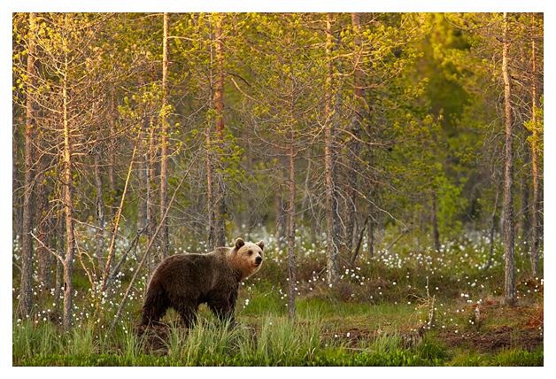 Bear-female-in-trees-2016
