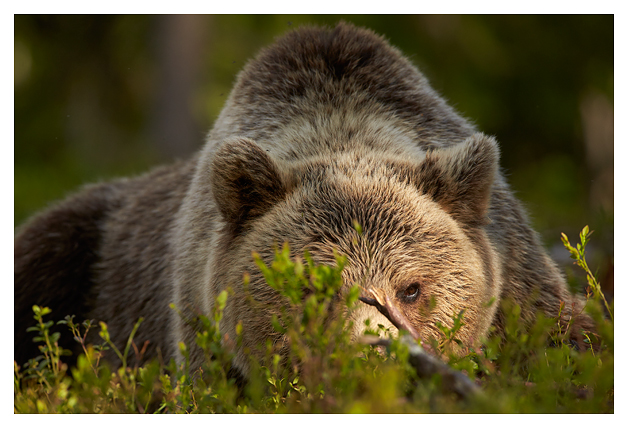 Bear-male-looking-through-vegetation-2016