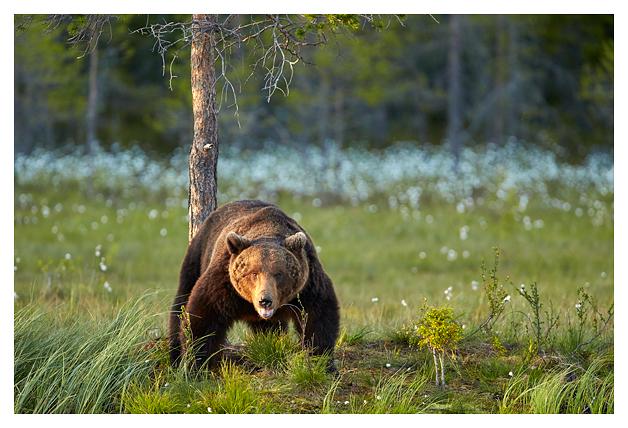 Bear-male-scarface-2016