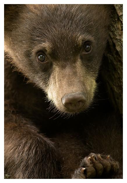 Black Bear Cub 1