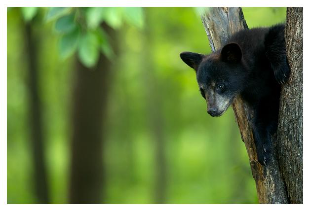 Black Bear Cub blog