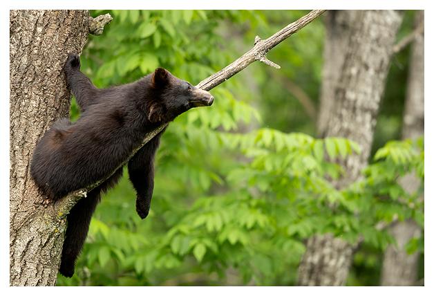 Black Bear Cub in a tree 1