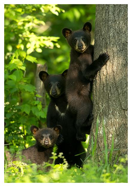 Black Bear Cubs blog