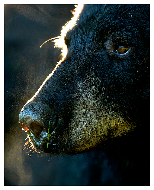 Black Bear Male 1 blog